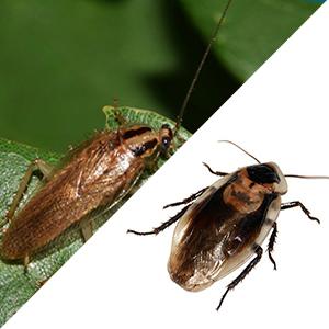 blattes et cafards